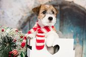 Two months old puppy Jack Russell terrier dog sitting in box, Christmas dog poster