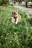 Running Dog Outdoors On Sunny Summer Day. Funny Smiling English Bulldog. Cute Young English Bulldog  poster