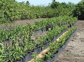 Nursery Plantation Of Guava Trees