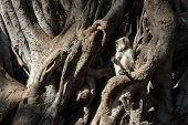 Gray (hanuman) Langur  Baby Sitting On Banyan Tree