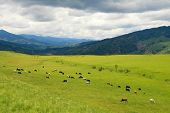 pic of gaucho  - Cattle grazing on a green field near Salta Argentina - JPG