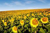 Sunflowers On The Hillside