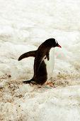 Gentoo Penguine Walking In Snow, Antarctica