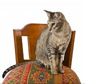 Oriental Cat Sitting On Chair
