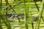Alligator Lurking Behind Reeds