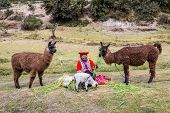 Cuzco, Peru - July 13, 2013: woman feeding alpacas and sheep near Tambomachay Incas ruins in Cuzco P