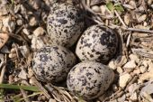 picture of killdeer  - Close up of 4 Killdeer eggs before hatching.