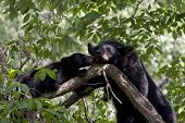 Momma Bear and Cub in Tree
