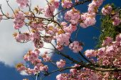 Pink Blossoms Against The Sky poster