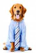 Dog dressed in a business suit - isolated over a white background