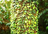 foto of english ivy  - Ivy on tree bark - JPG