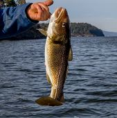stock photo of cod  - a fresh alive cod on the Norwegian coast