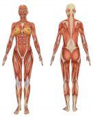 Постер, плакат: Женская мышечной анатомии вид спереди и сзади