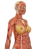 Female Musular Anatomy Upper Body Angled View