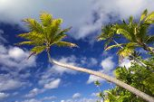Palm tree stretching out in front of a partly cloudy sky.