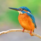 Common Kingfisher Bird