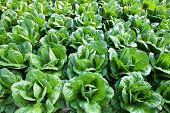picture of hydroponics  - Hydroponic vegetables growing in greenhouse at Cameron Highlands - JPG