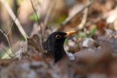 Male Common Blackbird Hiding