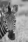 Zebra Portrait In Nature Lovely Detail Artistic Converion