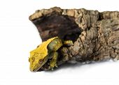 stock photo of lizard skin  - lizard crested gecko  - JPG