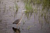 Blue Heron In Swamp
