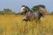 Grey horse run gallop