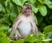 Monkey On Monkey Beach Phi Phi, Thailand