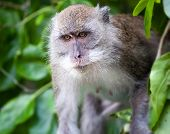 pic of phi phi  - Monkey on Monkey Beach Phi Phi Thailand - JPG