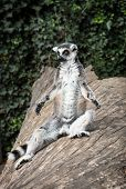 Ring-tailed Lemur (lemur Catta) Is Heated