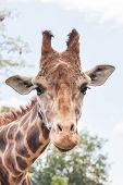 Giraffe Head Shot - Vertical