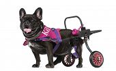 French Bulldog (7 years old) in a wheelchair