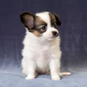 Portrait Of A Puppy Papillon