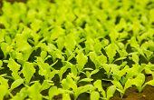 Lettuce Small Plants In Hydroponic Culture