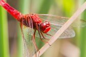 stock photo of ruddy-faced  - The Red dragonfly resting on a straw