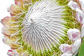 stock photo of fynbos  - Beautiful blooming protea flower closeup shot on white - JPG