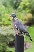 Columba Livia (pigeon) On A Bough