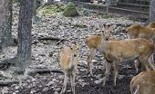 Male And Female Deer In The Zoo