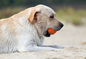 Labrador Playing With An Orange Ball Portrait