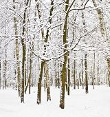 stock photo of birching  - Winter landscape birch forest with snow - JPG
