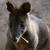 Swamp Wallaby Eating Leaf