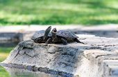 Two Turtles On The Rocks Near The Pond