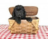 foto of newfoundland puppy  - Newfoundland Puppy peeking out of a picnic basket on a white background - JPG