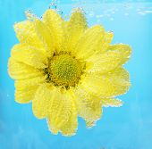 Beautiful flower in sparkling water on blue background, close-up