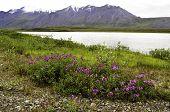 Wild flowers in Alaska