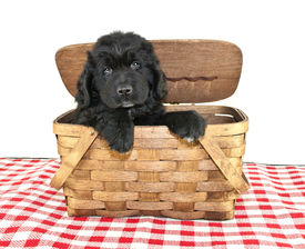 stock photo of newfoundland puppy  - Newfoundland Puppy peeking out of a picnic basket on a white background - JPG
