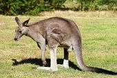 Eastern Grey Male Kangaroo From Southern Australia