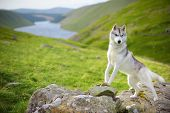 image of husky sled dog breeds  - portrait of Siberian Husky dog, Talla, Scotland, UK