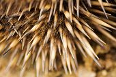 pic of egg-laying  - Close up detail of the quils of the Echidna - JPG