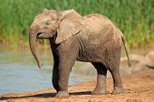 An African elephant (Loxodonta africana) at a waterhole, Addo Elephant National Park, South Africa
