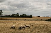 image of spring lambs  - White domestic lambs in Denmark farm - JPG